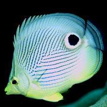 riba - דג