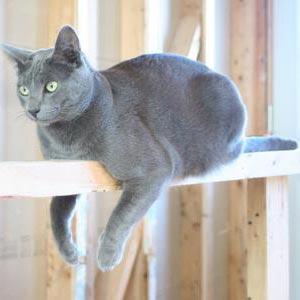 mačka - חתול