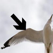 krilo - כנף