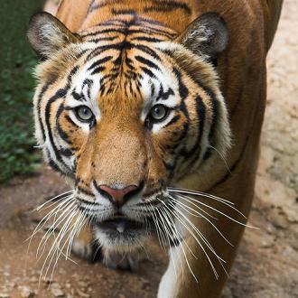 tigar - נמר