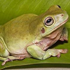žaba - צפרדע