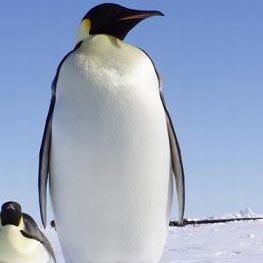 pingvin - פינגוין