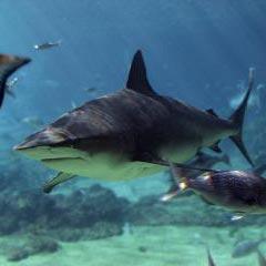 morski pas - כריש