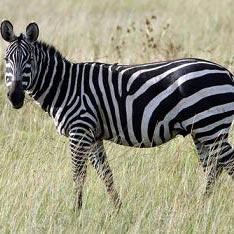 zebra - זברה