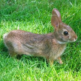 kunić - ארנב
