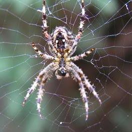 pauk - עכביש