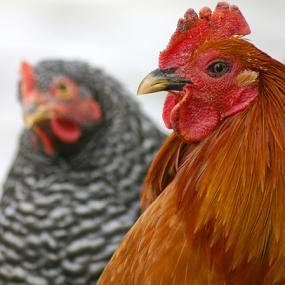 kokoš - עוף