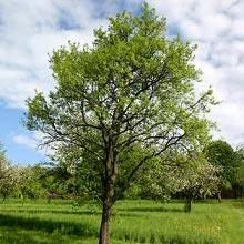 Drzewo - ዛፍ