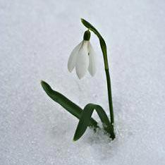 bunga tetes salju - สโนว์ดรอป