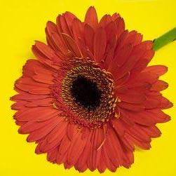 데이지 - isang daisy