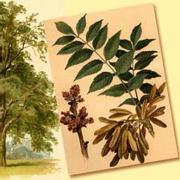 شجرة رمادية - un fresno