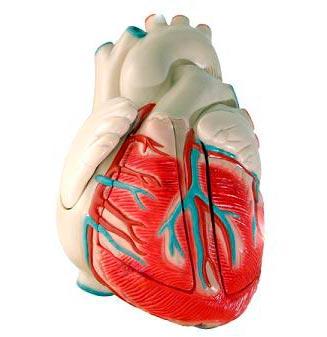 sydän - 心臟