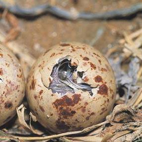 itämisaika - 孵化