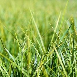 घास - het gras